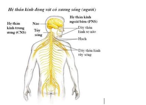 2.3.2. Hoạt động của hệ thần kinh dạng ống