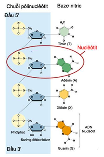 Hình 1 : Cấu tạo của một chuỗi polinucleotit